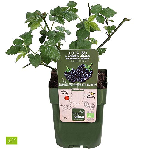 Rubus fruticosus 'Loch Ness' | 2er Set Brombeeren | Höhe 30-60cm | Topf-Ø 12cm