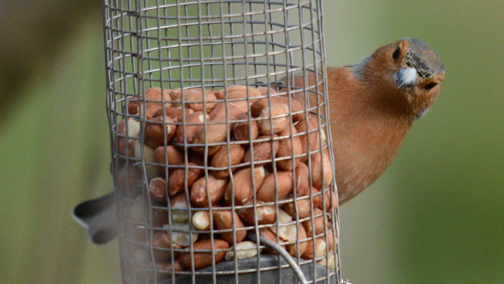 Buchfink am Erdnussspender