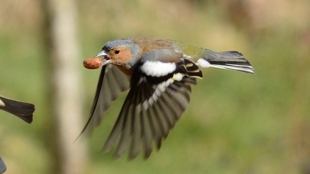 Buchfink im Flug mit Erdnuss im Schnabel