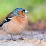 Buchfink (Frigillia Coelebs)  | Bestand, Lebensraum, Gesang & Verhalten