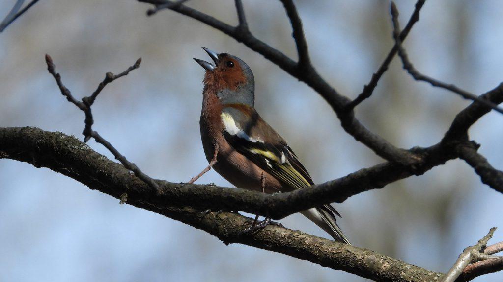 Buchfink singt