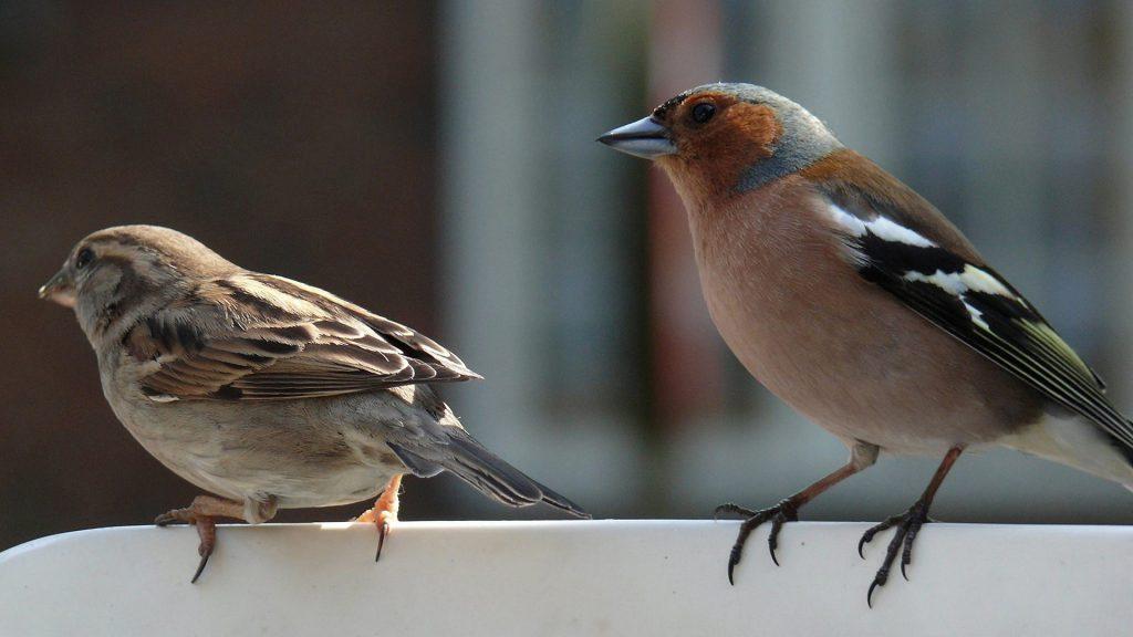 Buchfink und Spatz sitzen zusammen
