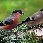Gimpel (Dompfaff) Erkennen | Steckbrief, Gesang & Lebensweise