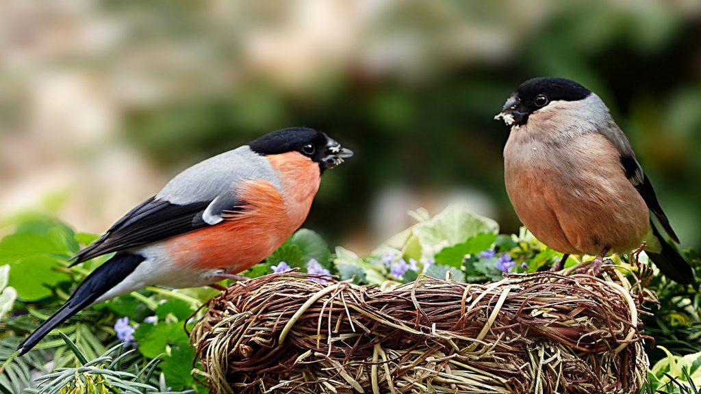 Gimpel Pärchen am Nest