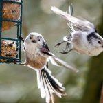 Meisenknödel als Winterfütterung | Platzwahl, mit Netz?, Zutaten | Selber machen
