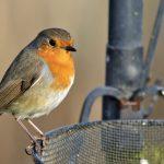 Rotkehlchen anlocken - im Garten ansiedeln | Fütterung & Nisthilfen