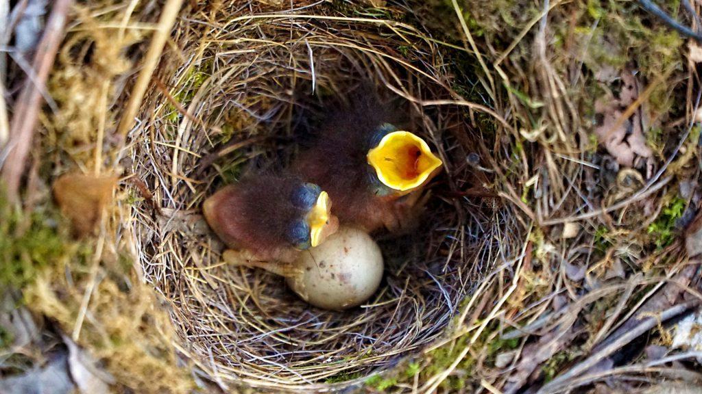 Rotkehlchen Nest