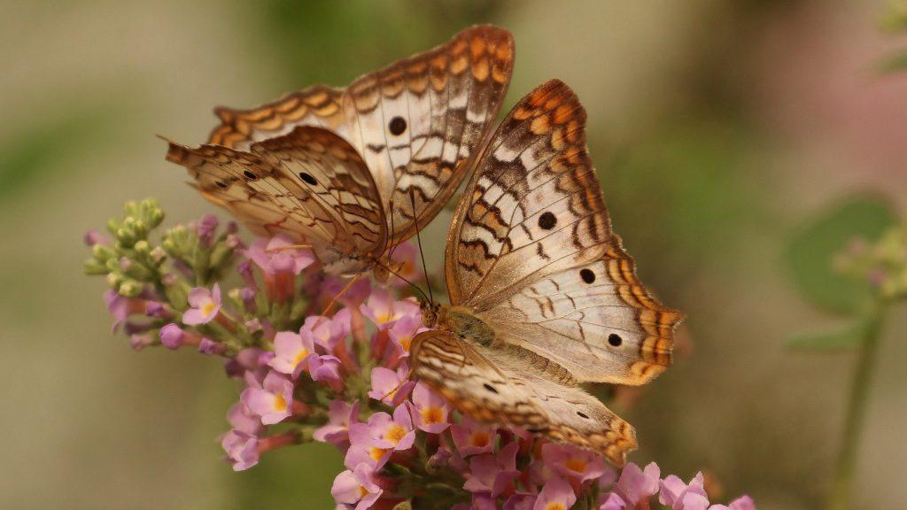 Zwei Schmetterlinge sitzen auf einer Blüte.