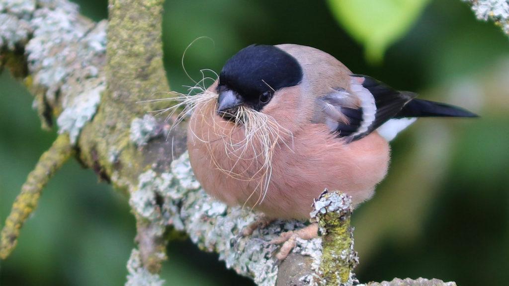 Gimpel Weibchen mit Nistmaterial