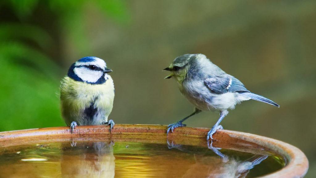 Meisen bei Vogeltränke