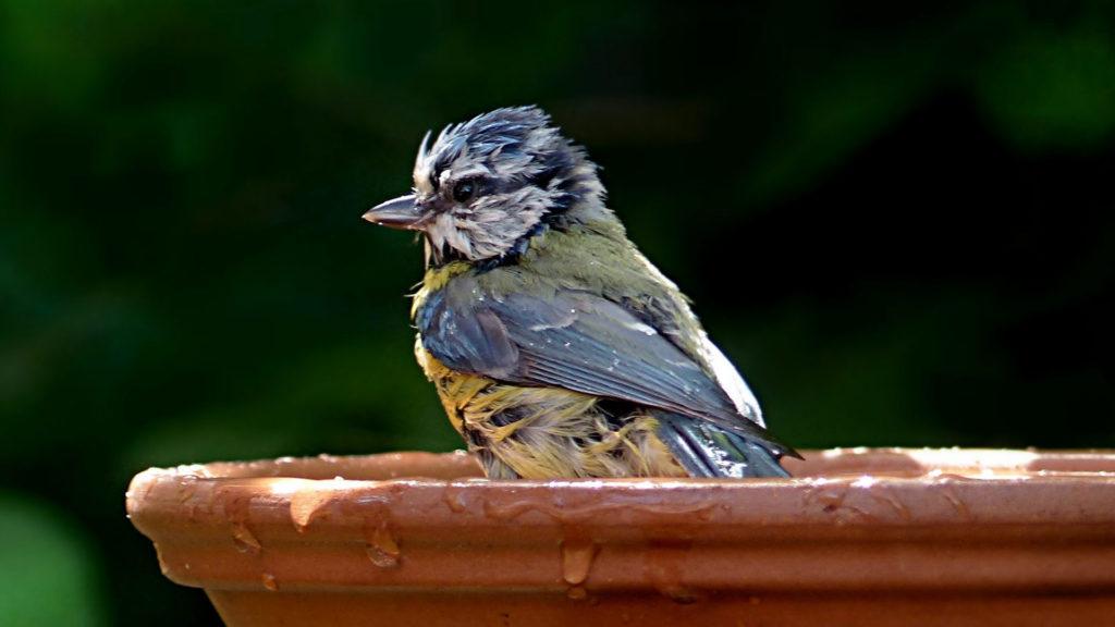 Blaumeise in Vogeltränke