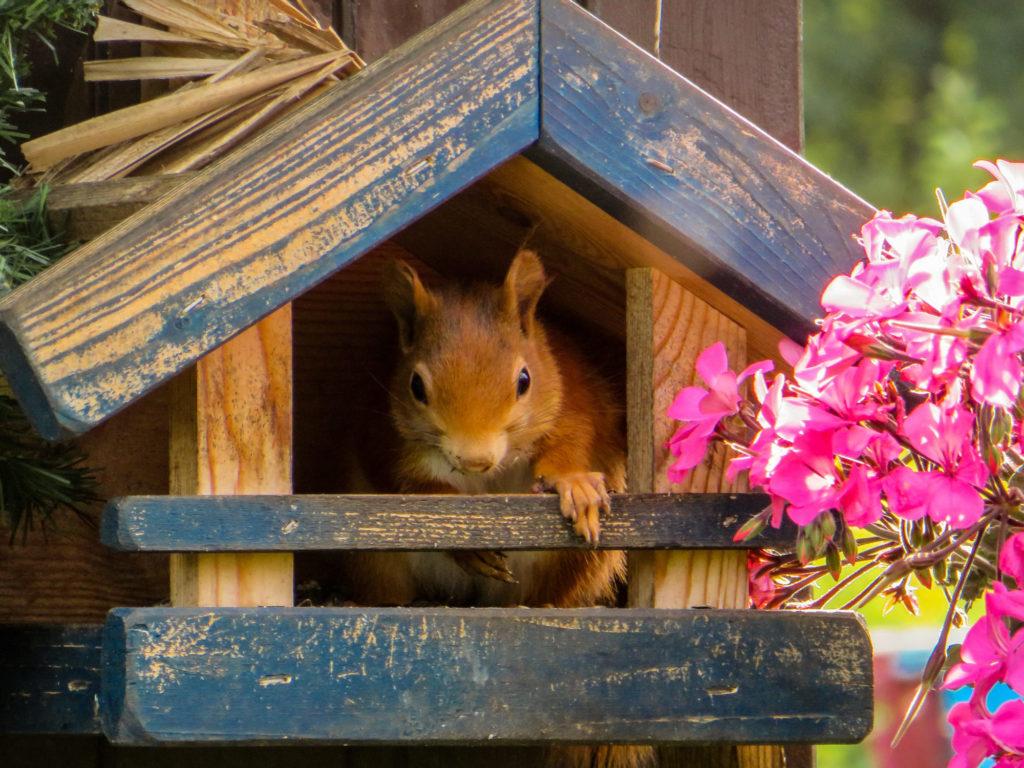 Eichhörnchen sitzt im Futterhaus