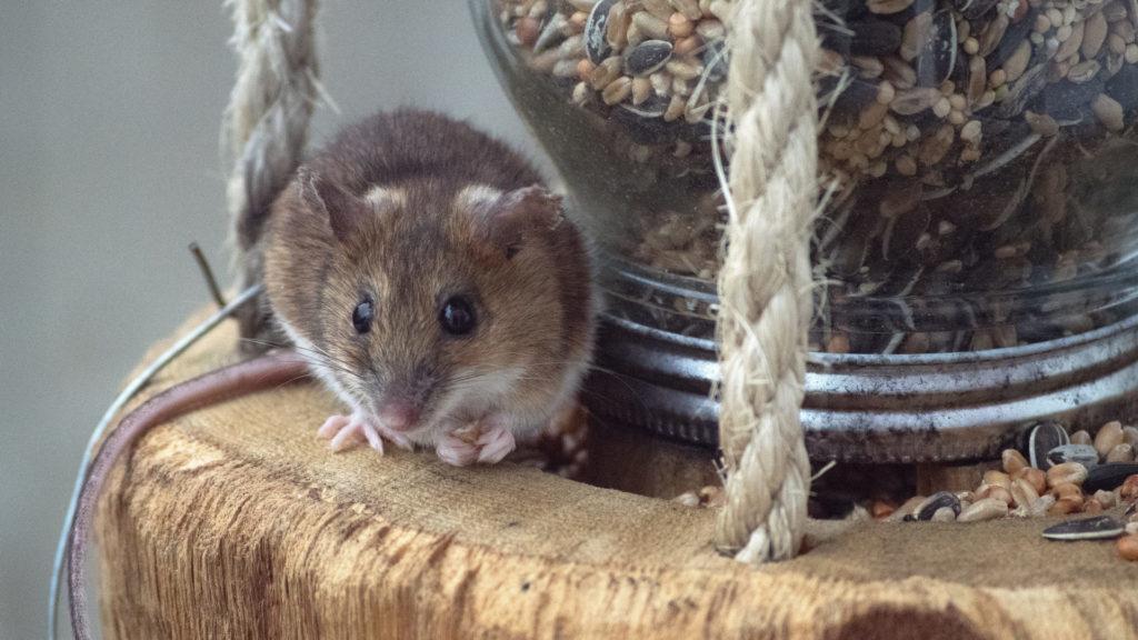 Maus frisst aus Futterspender