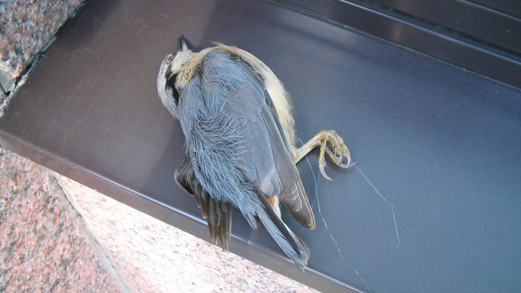 Toter Vogel vor Fenster