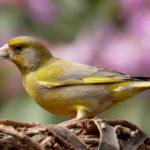 Grünfink: Nahrung & Nest | Grünfinken anlocken & im Garten ansiedeln