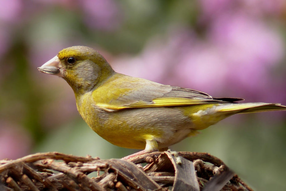 Grünfink greenfinch