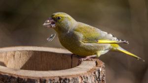 Grünfink Futter
