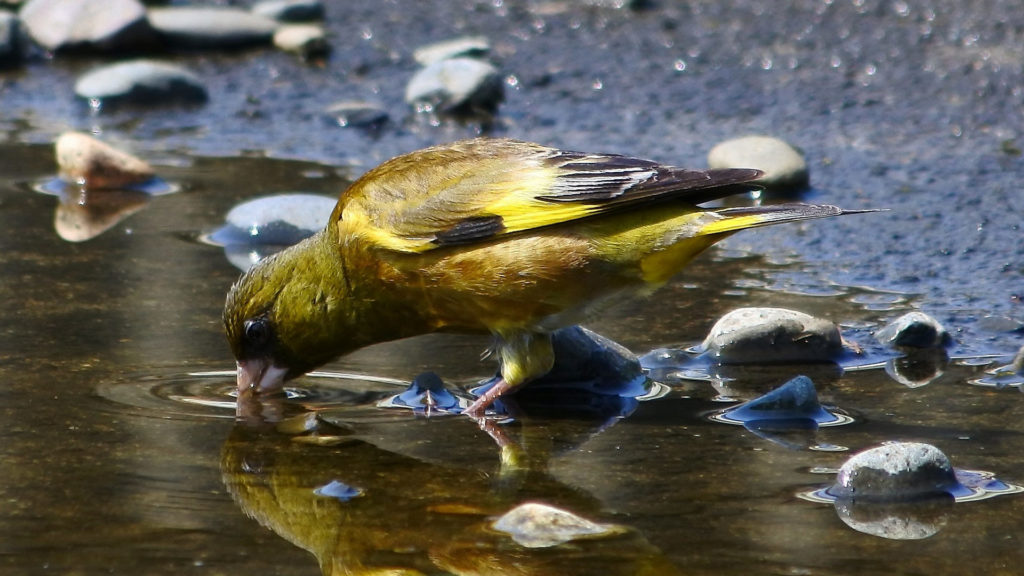 Grünfink an einer Wasserstelle