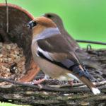 Kernbeißer im Garten füttern & ansiedeln | Nahrung & Nistunterstützung