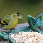 Erlenzeisig: Nahrung & Nest | Erlenzeisige im Garten unterstützen