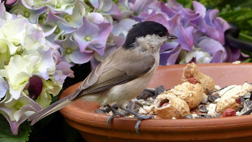 Futterplatz für Vögel mit Sumpfmeise