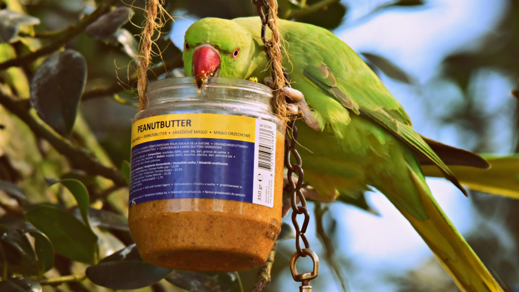 Papagei frisst Erdnussbutter.