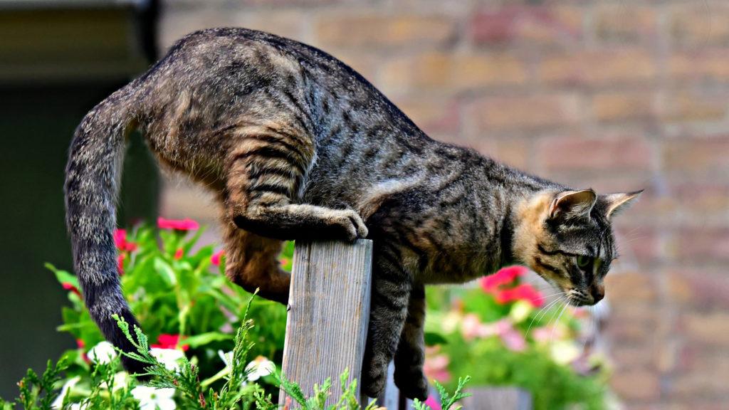 Katze steigt auf Zaun.