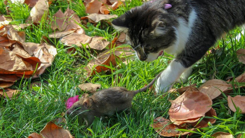 Katze fängt Ratte.