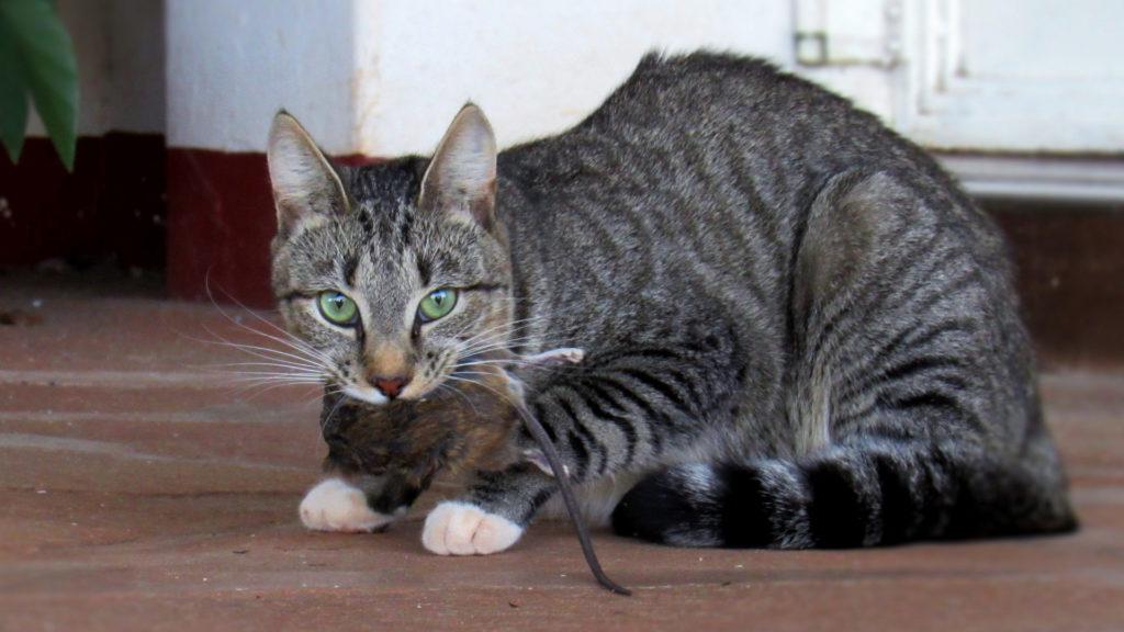 Katze mit Ratte
