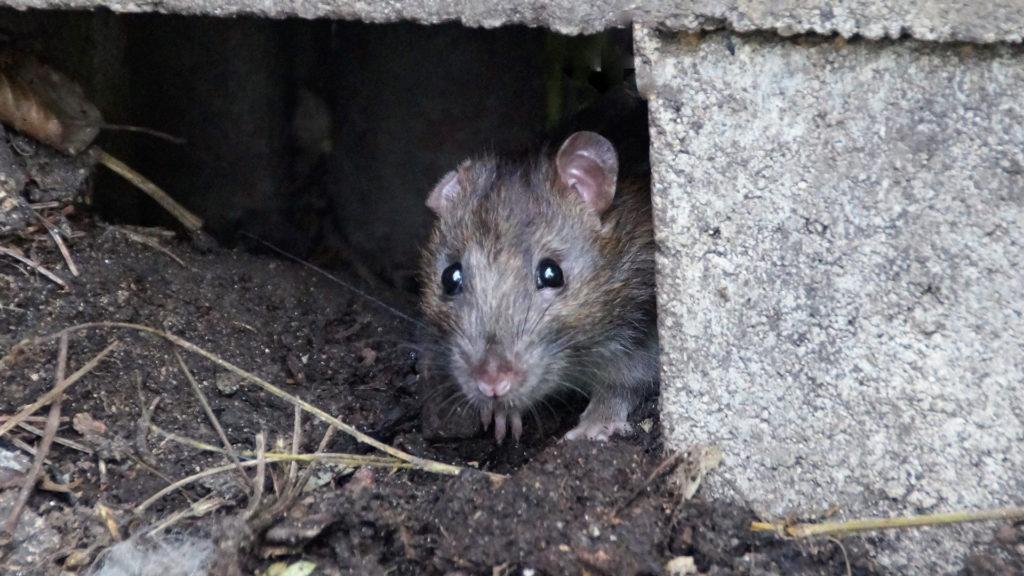 Ratte im Versteck