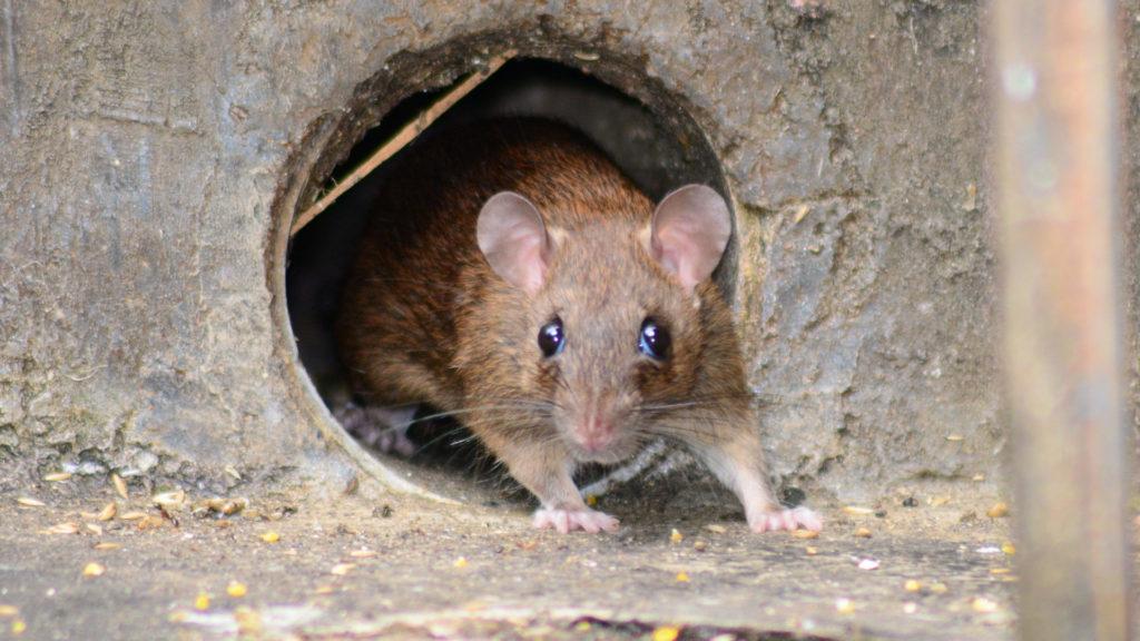 Ratte schaut aus Loch.