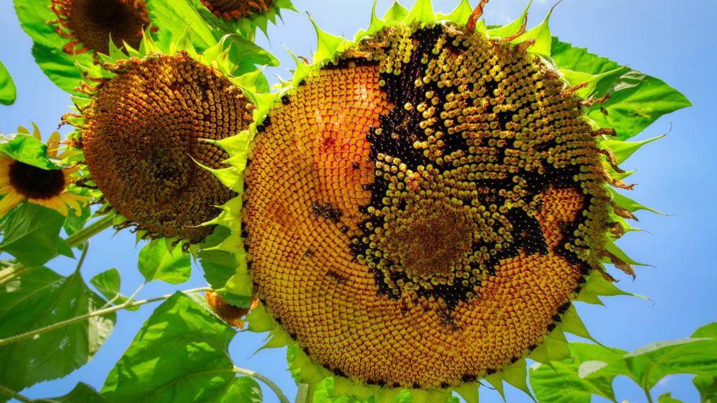 Sonnenblume reif