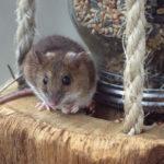 Mit Ultraschall gegen Ratten & Mäuse? Wirksamkeit im Test | Erfahrungen, Tipps & Tricks