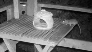 Ratte nähert sich Tiervertreiber.