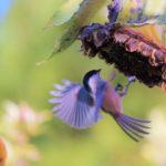 Sonnenblumenkerne als Vogelfutter im Test | Geschält oder ungeschält? Schwarz oder Gestreift?