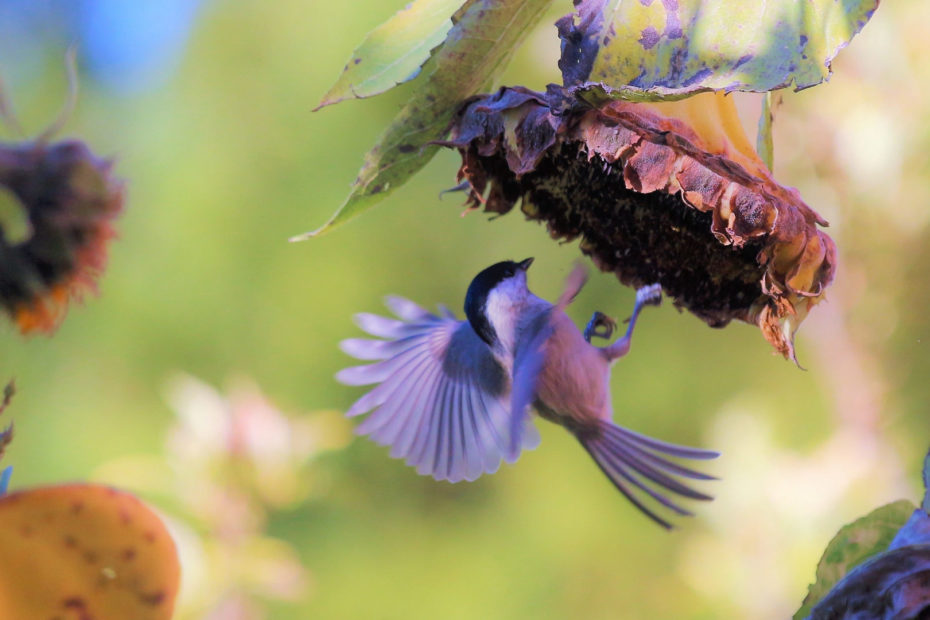 Vogel an Sonnenblume
