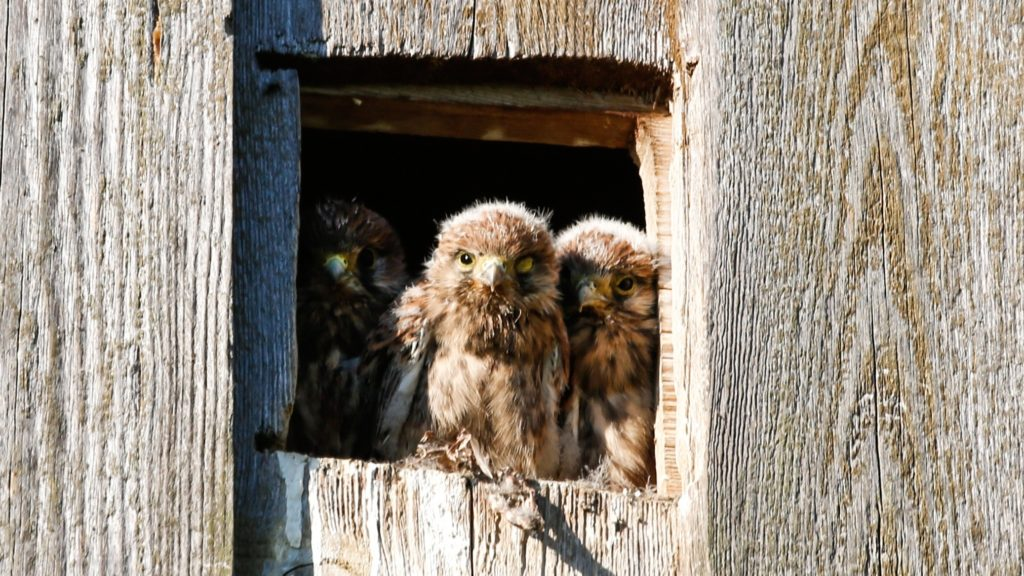 Junge Falken sitzen am Nesteingang.