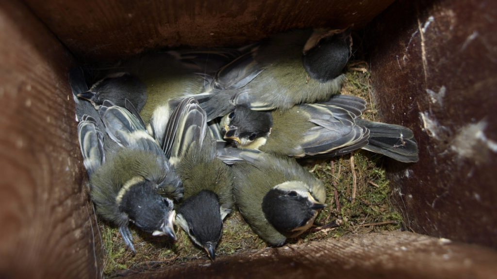 Nestlinge Kohlmeisen im Nistkasten