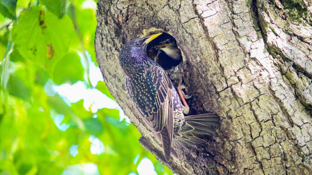 Star füttert Jungtiere am Nest.