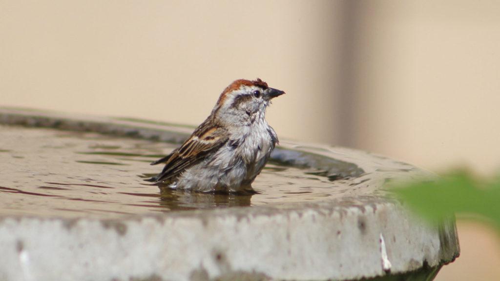 Hausspatz badet in Vogeltränke