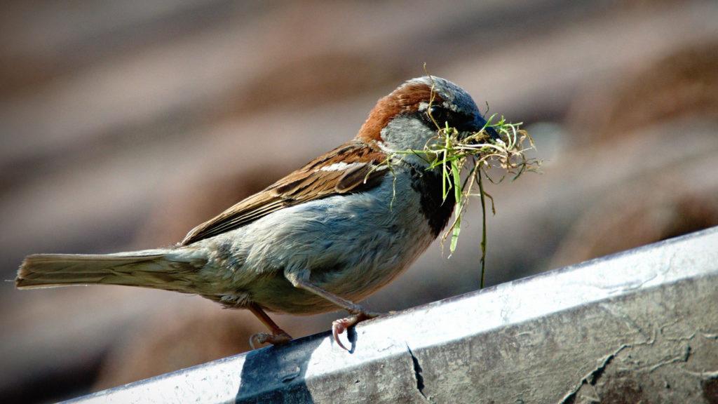 Spatz Haussperling beim Nestbau