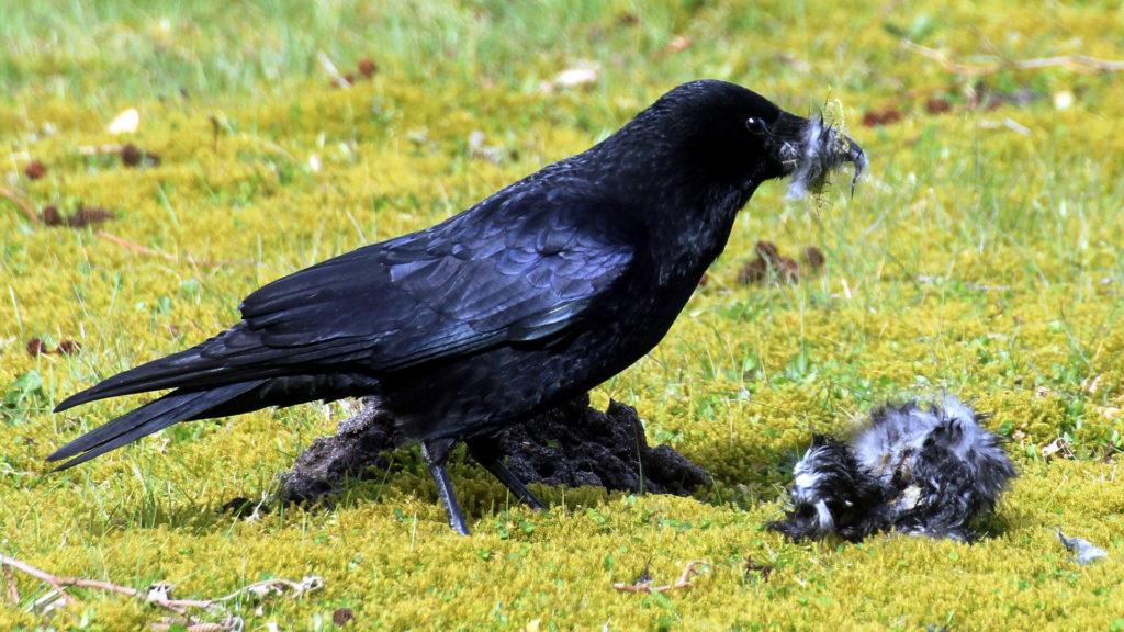Rabe Krähe frisst Singvogel